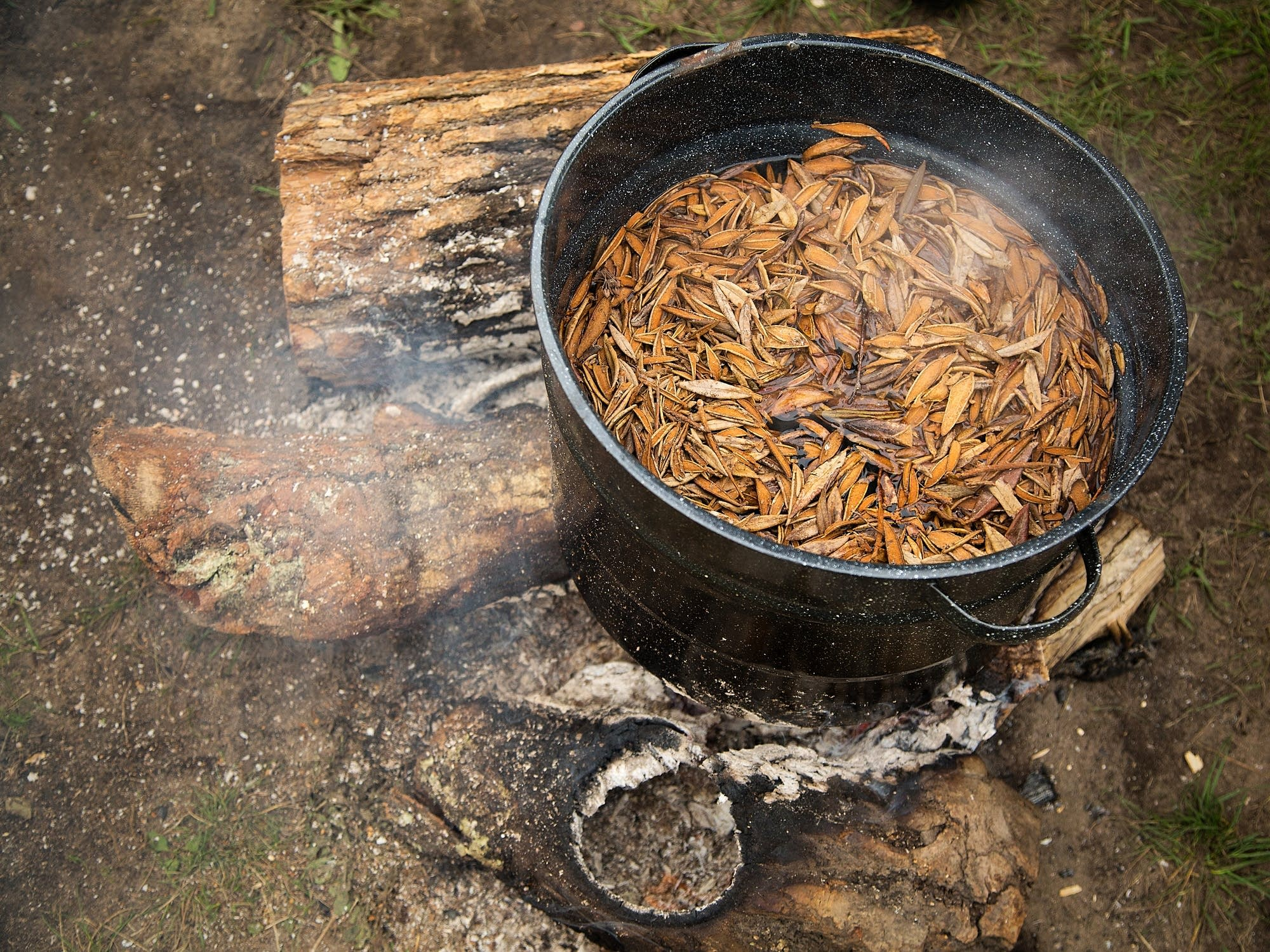 Swamp tea, also known as Labrador tea, stews.