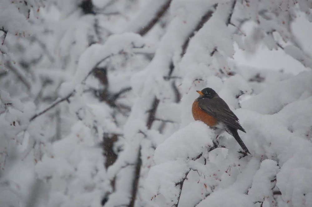 A robin in spring