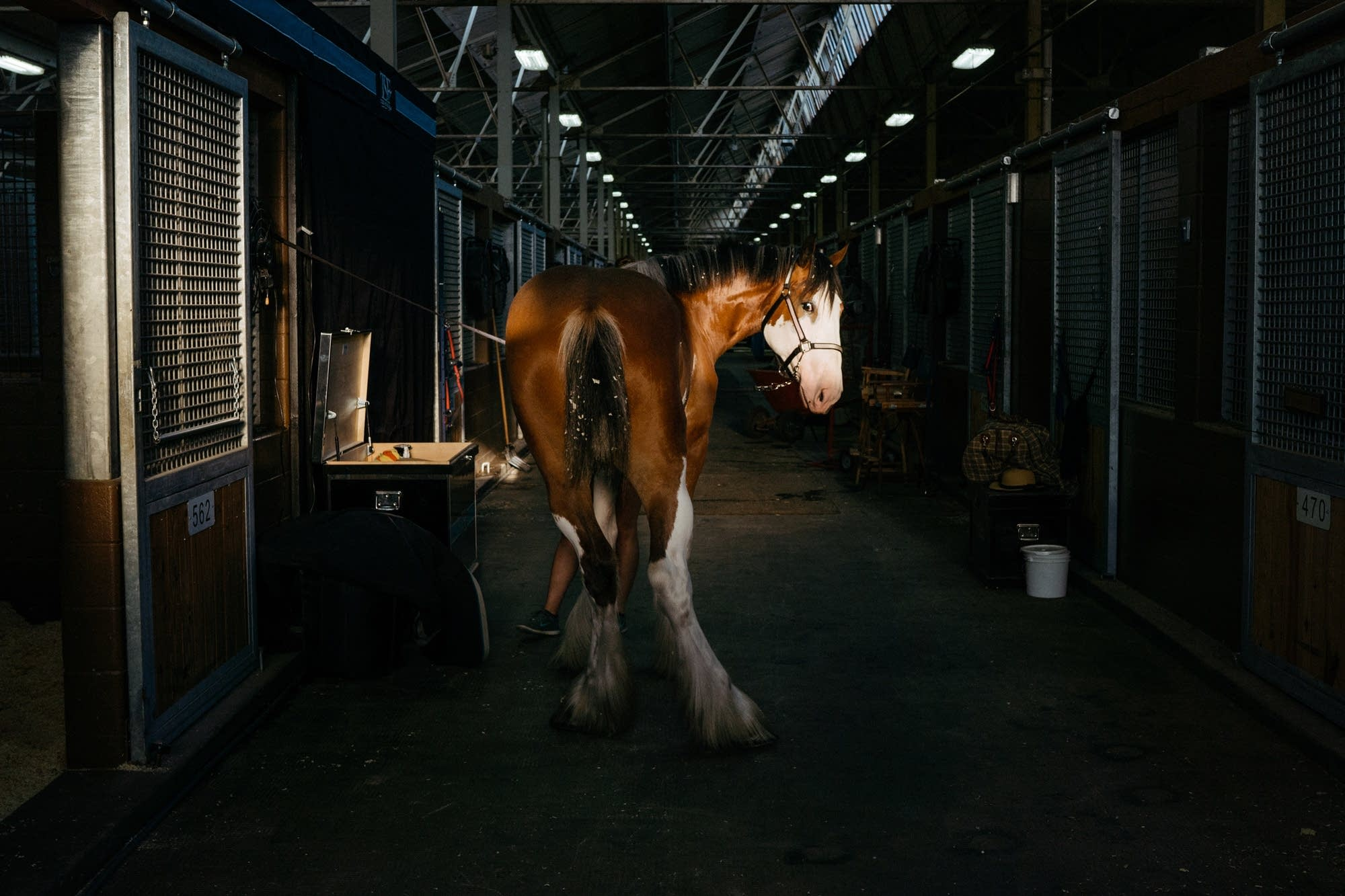 A Clydesdale named Meg waits to be groomed.