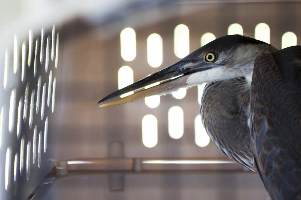 Heron Release