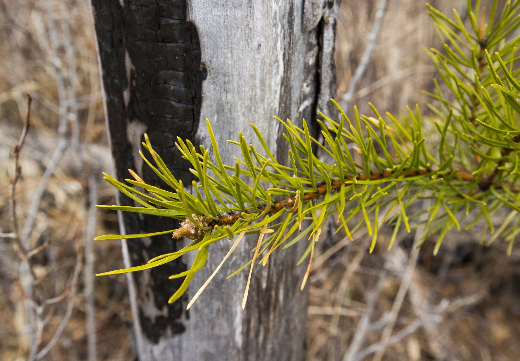 A young jack pine branch in front of a dead and blackened tree trunk.