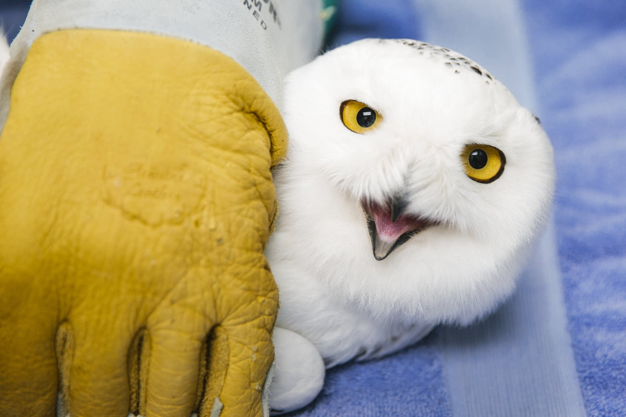A snowy owl wakes up from anesthesia.