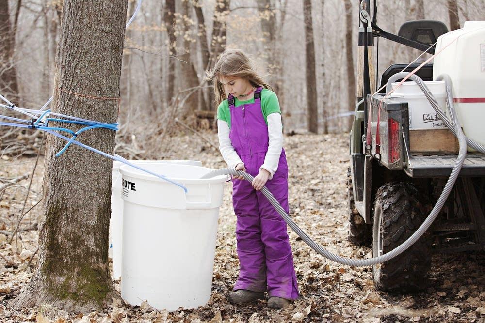 Collecting sap