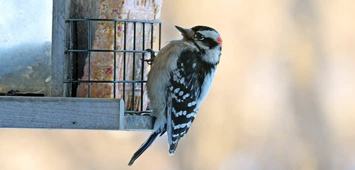 Downy woodpecker eats suet.