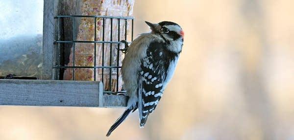 Downy woodpecker eats suet.