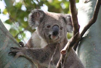 37e949 20080711 koala