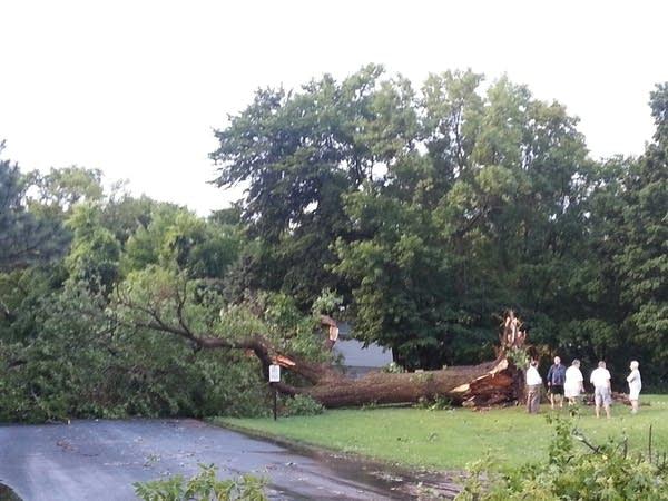 529 big tree