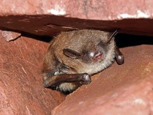 A bat in the Soudan mine with white-nose syndrome