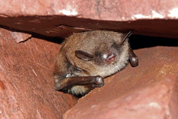 A bat in the Soudan mine with WNS.