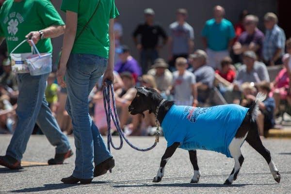 4H Club goat