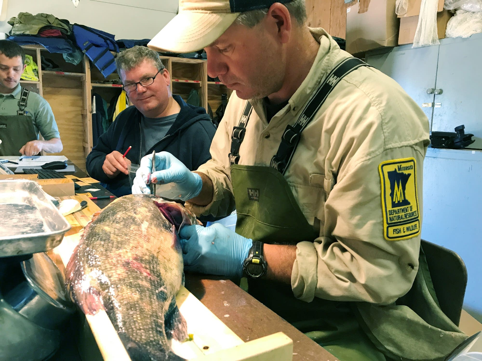 Assistant fisheries technician Kris Nissen takes samples from a fish.