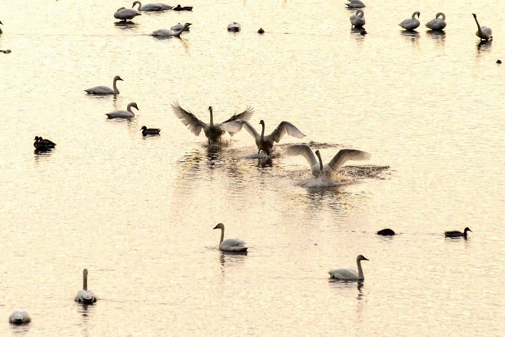 Tundra swans land in the Mississippi.