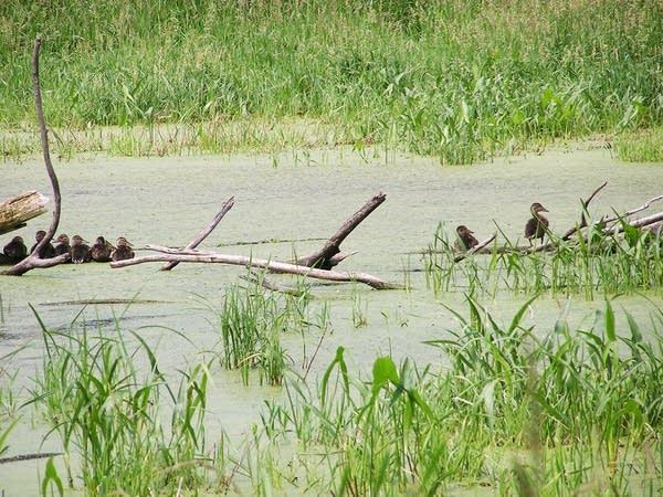 Waterfowl in wetlands