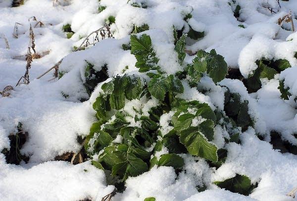 Snow-covered radish