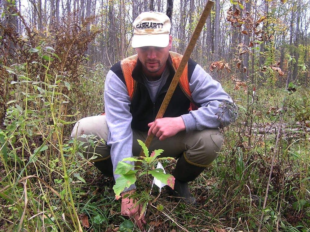 Mitch Slater measured a swamp white oak sapling.