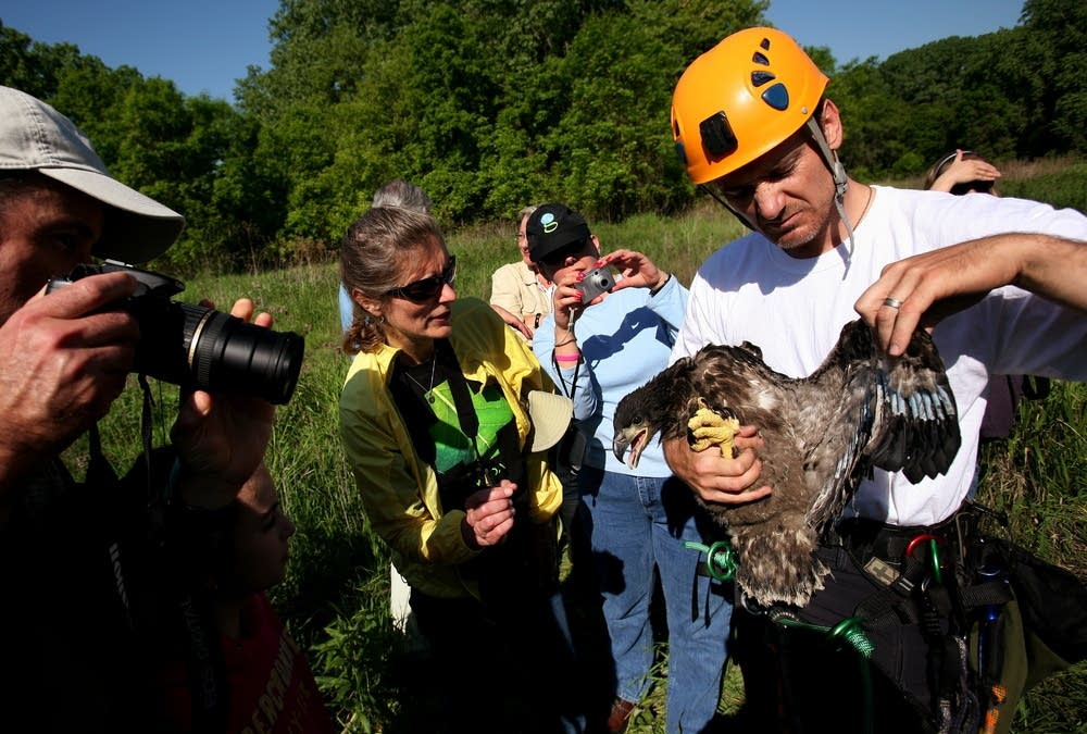Holding an eaglet