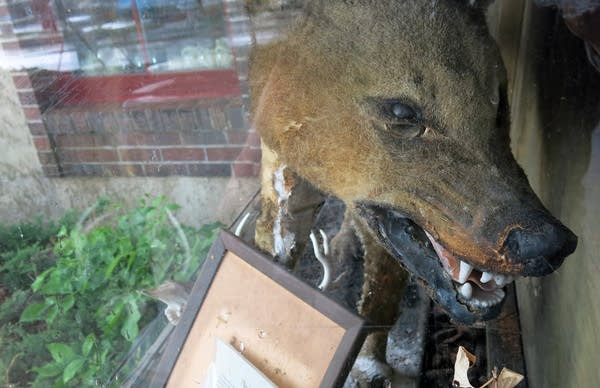 Lobo's stuffed remains on display at Morrell's Chippewa Trading Post.