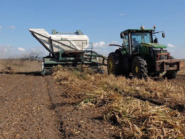 A harvester threshes kidney beans