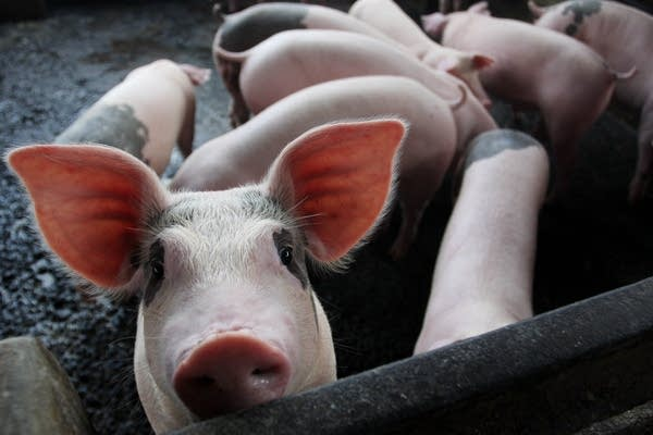 Swine flu threat reaches Indonesia