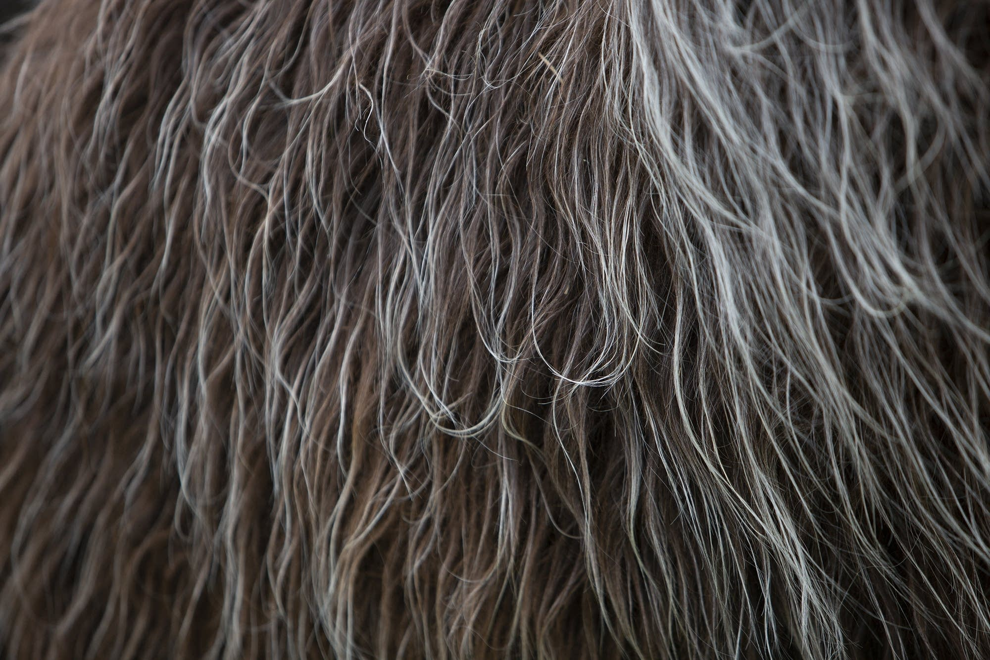 Llama fleece consists of an outer coat and an insulating undercoat.