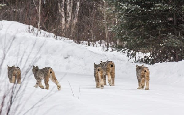 Five Canada lynx walk down a road near Tofte on Saturday morning.