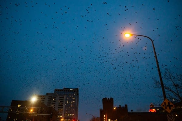 Crows fill the sky over a city.