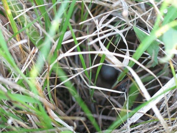 Savannah sparrow's nest