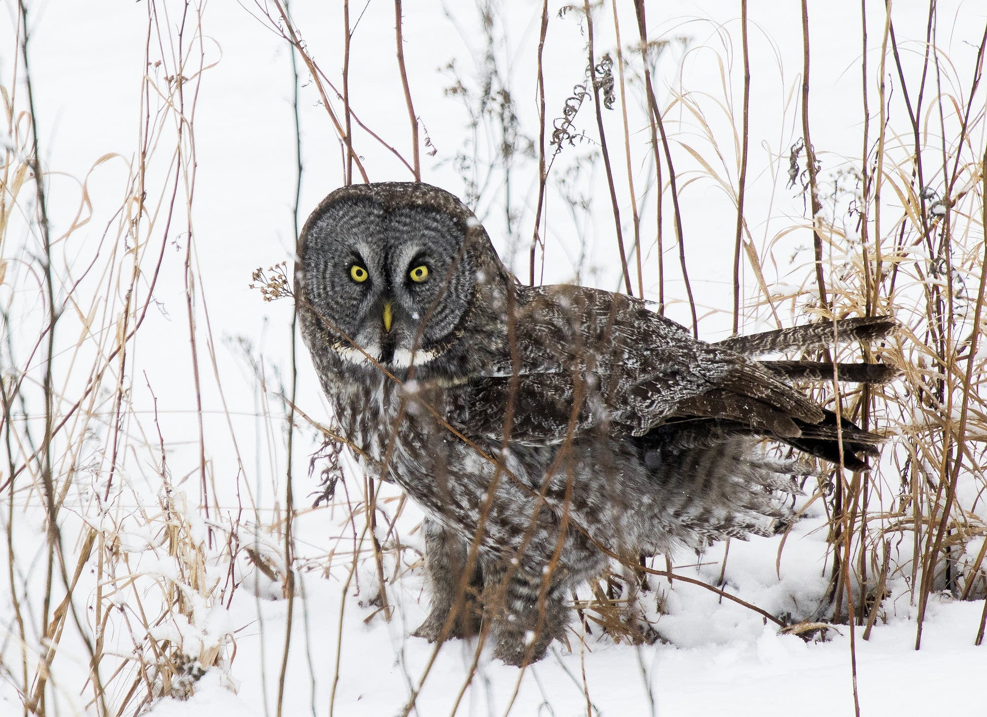 A great gray looks up after plunging into the snow.