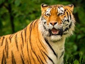 Molniy the tiger