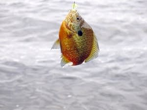 A sunfish caught in Sullivan Lake.