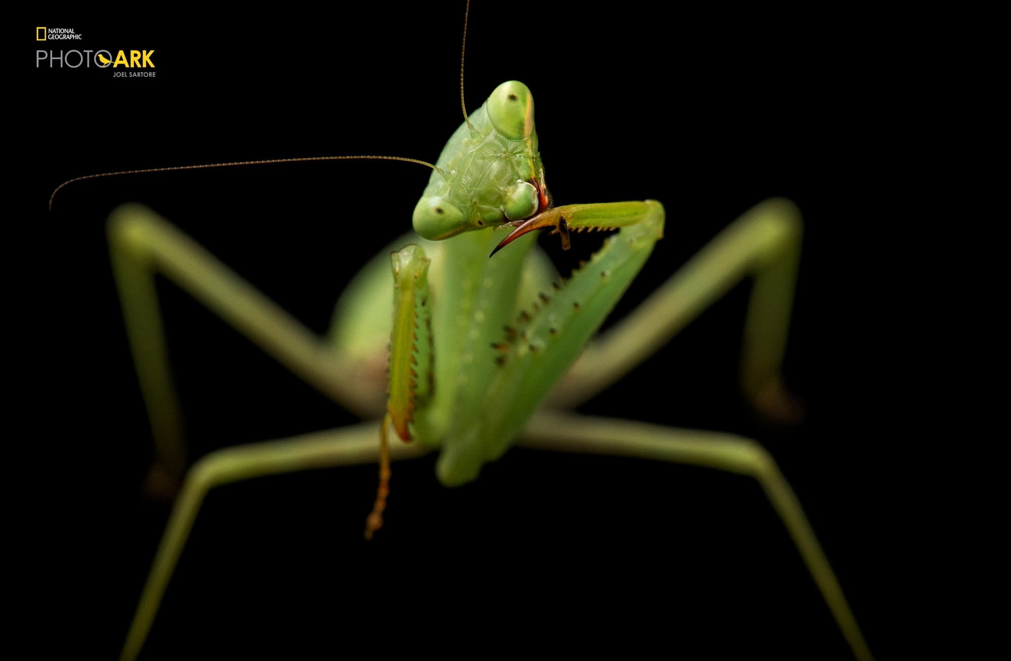 A springbok mantis (Miomantis caffra) at the Auckland Zoo.