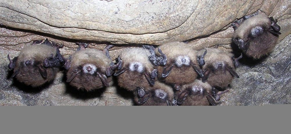 Infected bats