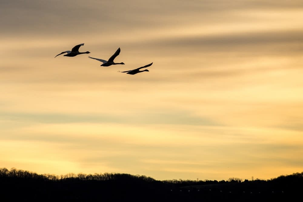 Three tundra swans fly above the Mississippi.