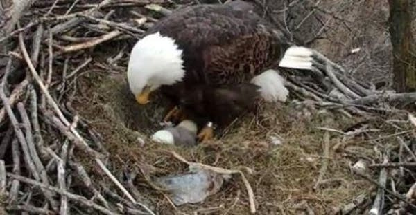 An eaglet hatches