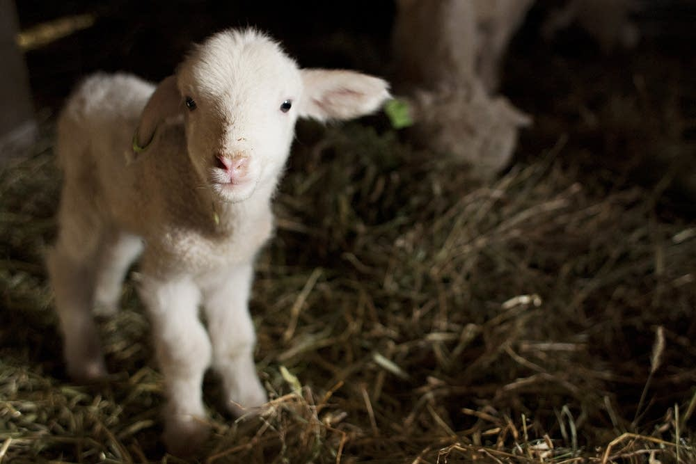 A new lamb at Northcroft Farm