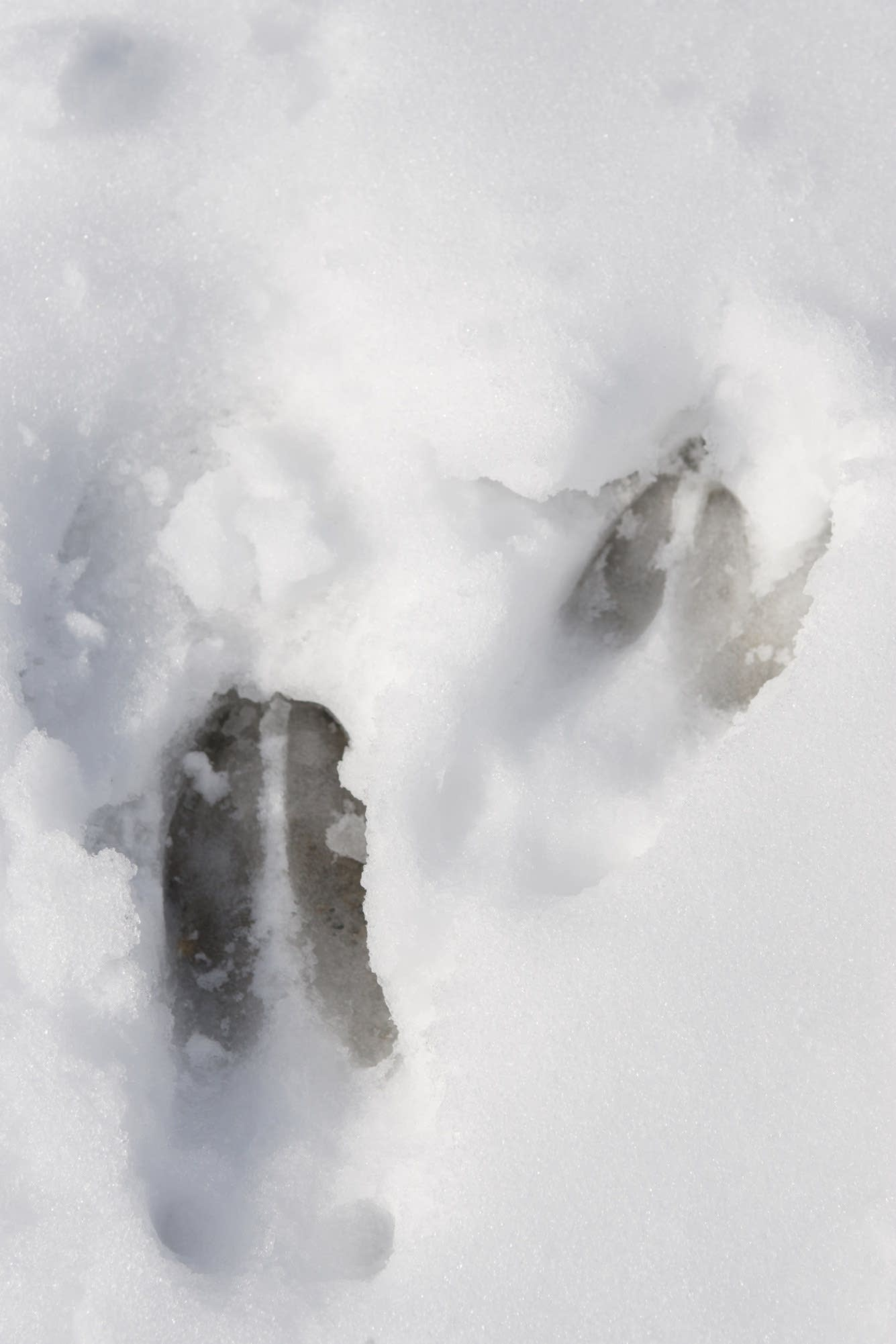 Fresh deer tracks are seen in the wet snow of Chippewa National Forest