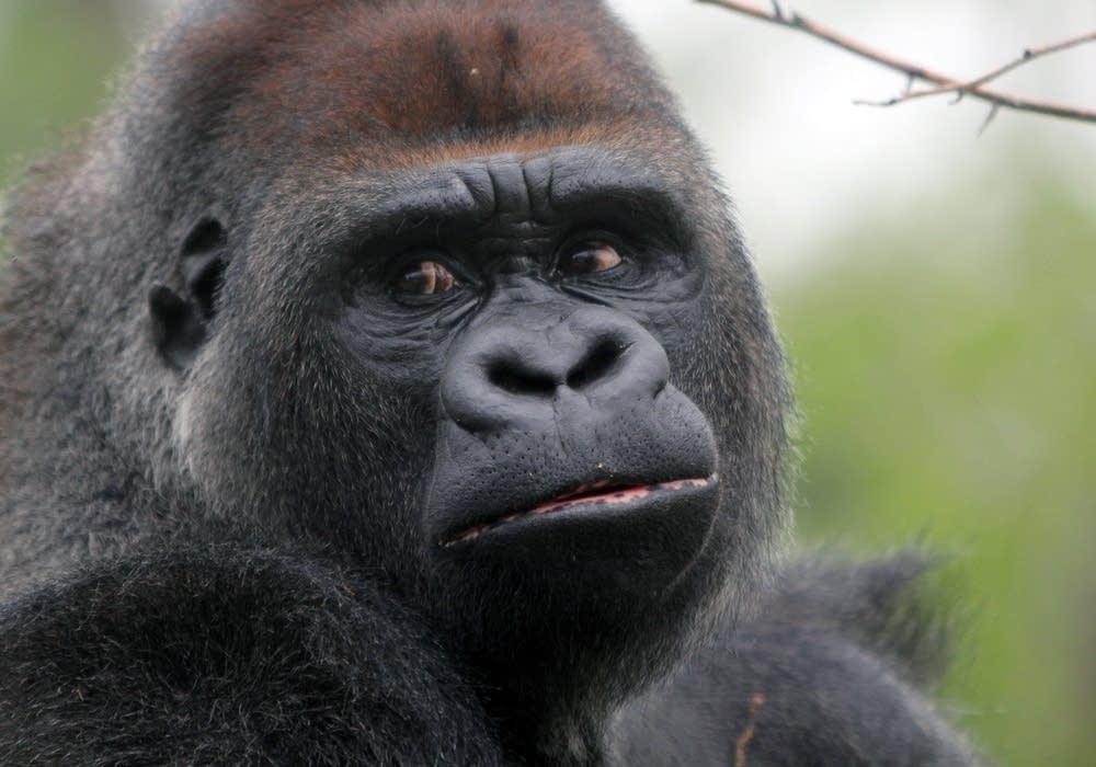New gorilla