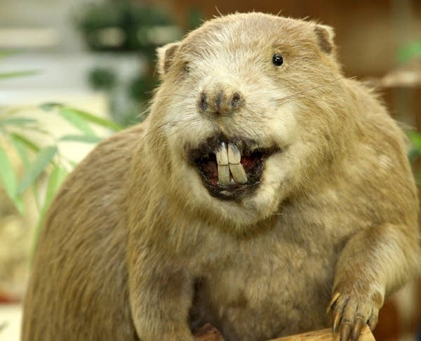 Giant Beaver with huge incisors