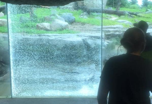 Grizzly smashed glass