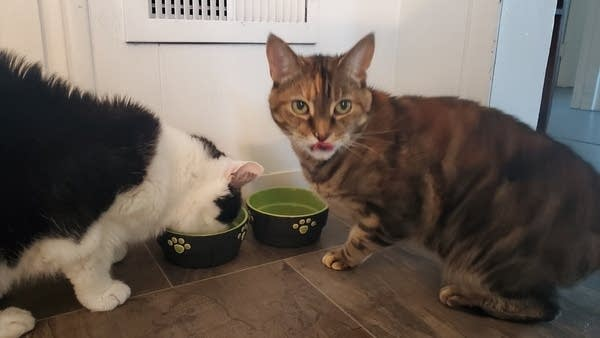 Two cats eating out of their bowls, one looking at camera w/ tongue out