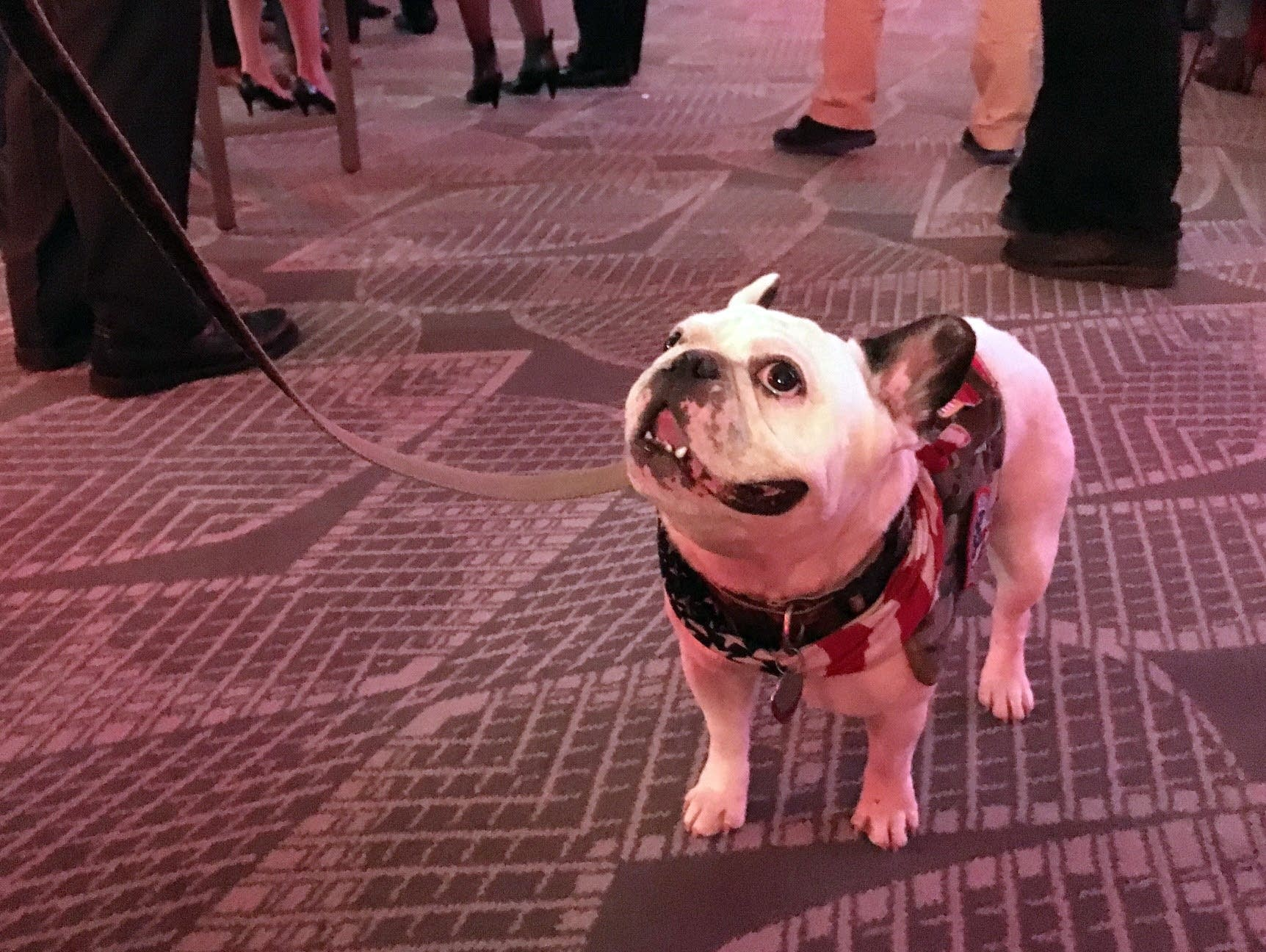 Lloyd the French bulldog at the GOP viewing party.