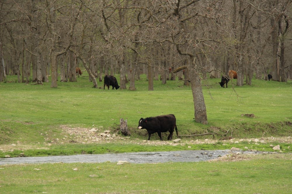 Cows graze along the Whitewater.