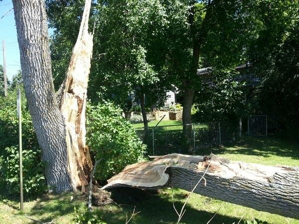 529 beach tree snapped at base