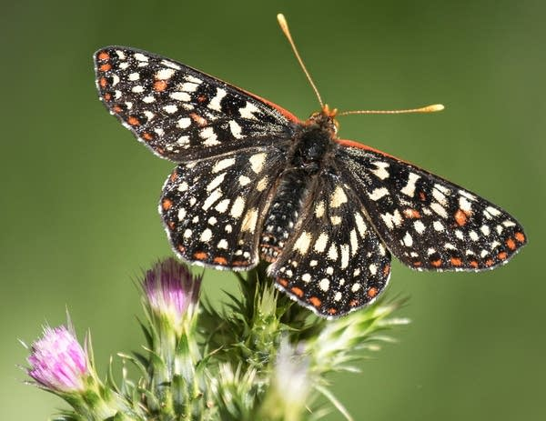 A bay checkerspot butterfly rests on a plant.