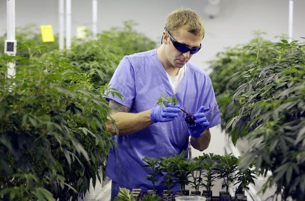 A man handles cannabis plants in a lab