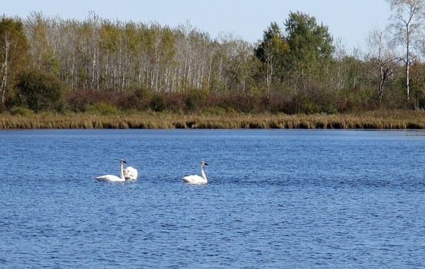 Trumpeter swans swam on a small lake.