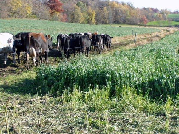 Cows at Bonnie Haugen's dairy farm near Canton, Minn.