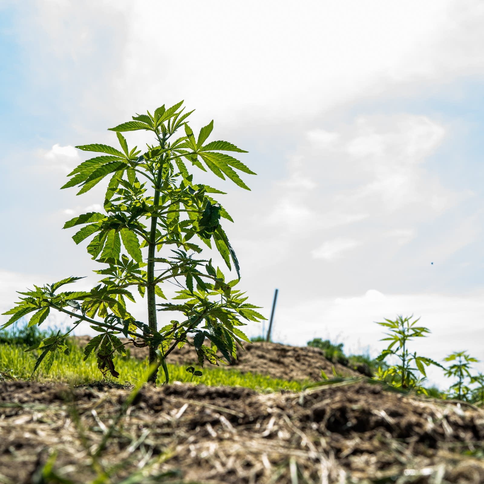 Hemp farmer sues MN over crop crackdown, says state broke its own