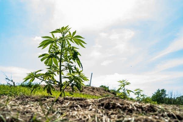 A hemp plant grows at Fifth Sun Gardens, a hemp farm in Lanesboro.
