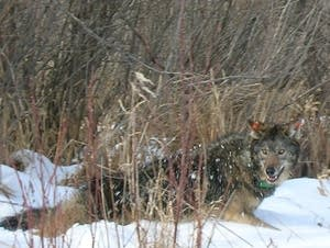 The wolf population is booming in Minnesota.